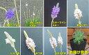 ☆宿根草イングリッシュラベンダーコレクション 7種から選べます1株(10.5cm)ポット