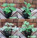 宿根草 選べる香りのゼラニューム10通りの香りをお楽しみください(センテッド ゼラニウム)1株