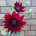 毎年咲くよ 宿根ダリア 黒蝶直径12cmポット蕾&開花状態【05P01Oct16】