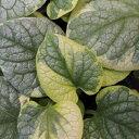 ブルネラ(ブルンネラ) キングスランサム直径9cmポット苗