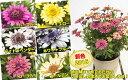 ダブル咲で豪華、しかもちょっと変わった花色も特徴の新しいオステオスペルマム ダブルファンシリーズ6種から選べます1株9cmポット苗【05P05Nov16】