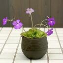 ☆食虫植物虫取りスミレ 小バエ退治に活躍します1鉢(植え替え不要でそのまま楽しめる底面給水鉢)