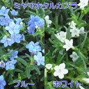 ミヤマホタルカズラ 選べる2色 1株 グランドカバー 寄せ植...