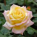 2017年バラ大苗・即納可ピース (国産苗 大苗 6号鉢植え)メイアン作出世界バラ会連合殿堂入り品種