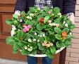 ☆楽天1位薔薇咲き プリムラ ・ ジュリアンのてんこ盛り寄せ植え 径43cmのお花畑※送料無料・同梱不可*ただし、お届け地域によっては差額送料が発生します。