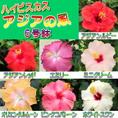 ☆晩秋まで咲き続け毎年楽しめるハイビスカスアジアの風シリーズ6号鉢植え
