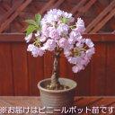 楽天1位 一才桜(桜盆栽) (盆栽桜) ポット苗【05P05Nov16】