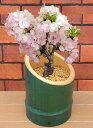 桜 盆栽 一才桜 竹筒かぐや姫*送料無料・他品同梱オッケー・関東甲信越地域以外は別途送料がかかります