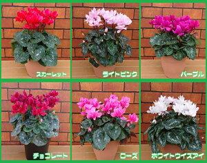 オリジナル 八重咲き シクラメン