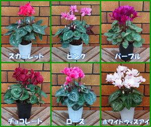 八重咲き シクラメン