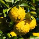 果樹苗 柑橘系 一才ゆず(花ユズ)4.5号(直径13.5cm) 1株