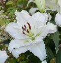 秋植え球根カサブランカで八重咲きゆりオリエンタルリリー 八重咲きカサブランカダブルカサブランカ・ホワイトアイズ1球パック