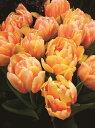 秋植え球根芍薬の様な豪華咲きチューリップフォクシーフォックストロット3球パック【05P01Oct16】