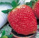 でっかい実ができる ジャンボ イチゴ ( いちご ) アイベリー直径10.5cmポット苗1個【05P05Nov16】