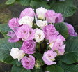 楽天1位バラ咲きプリムラ ジュリアン・ブルーベリーのムース 1株【02P07Feb16】