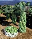 ポコポコ出来る栄養満点の冬野菜芽キャベツのタネ 約10粒第4...