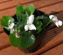 楽天1位ニオイスミレ 一重咲き 白 1株