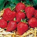 イチゴ(いちご)満腹セット 4種各1株計4株セット*送料無料・他品同梱可能・お届け先地域によっては別途送料が発生する場合があります