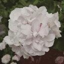 宿根草栄養系 アイビーゼラニウム ( ゼラニューム )ホワイトパール 1株