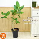 RoomClip商品情報 - 【スーパーSALE】【ポイント2倍】葉脈が美しいゴムの木 フィカス ベンガレンシス 中型8号