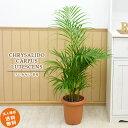 アレカヤシ 8号 (鉢カバーなし)観葉植物 中型 おしゃれ インテリア ギフト 祝い 開店 誕生日 新築 プレゼント ラッピング