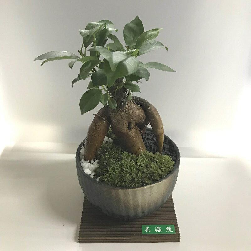 ガジュマル船形和鉢苔盆栽 皿付/お祝い/風水/多...の商品画像