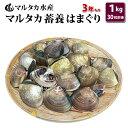 【送料無料】蓄養はまぐり 3年もの4cm〜5cmサイズ蛤(ハマグリ)1kg(30粒前後)入♯貝 はま...