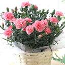 【母の日フラワーギフト】【送料無料】カーネーション 鉢植え ピンク 5号 カゴ付 母の日 プレゼント ギフト 贈り物 鉢花 ガーデニング 誕生日 お礼