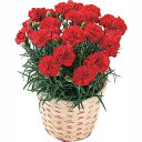 【母の日フラワーギフト】【送料無料】カーネーション 鉢植え 赤系 5号 カゴ付 母の日 プレゼント ギフト 贈り物 鉢花 ガーデニング 誕生日 お礼