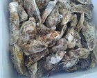 宮城県産牡蠣