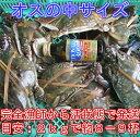 宮城県産 ワタリガニ オス中サイズ 渡り蟹 ガザミ 梭子蟹 ケジャンにも!活発送 2kg(