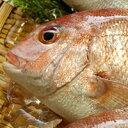 天然 真鯛(たい)【生】 1尾 約500-590g 【山陰沖産】