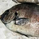活・石鯛(生)1尾 約500-590g 【浜坂産】 ※活かしてますので、発送直前に〆てお届け致します。 (いしだい・イシダイ)