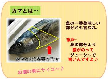 【本日大特価】サワラのカマ【生】小500g【浜坂産】(さわら、鰆)