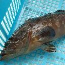 ≪本日大特価≫幻の高級魚 天然 活・クエ【活生】1尾 約1.6kg前後 【浜坂産】 ※活かしてますので、発送直前に〆てお届け致します。 (九絵、くえ、アラ、あら)