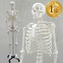 【1年保証】人体模型 約166cm 人体骨格模型 等身大の人体の骨格をリアルに表現!人体骨格模型 ヒューマンスカル 模型 人体模型 骨格標本 骨格モデル 整体 整骨院 おもちゃ 楽天 リアル 小道具 おもちゃ[送料無料]
