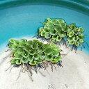 (水草) サルビニア ククラータ 6株セット / サンショウモ 水草 浮草 鉢 メダカ