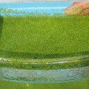 (水草) ミジンコ浮草 100g / ミジンコ藻 ミジンコウキクサ 水草 浮草 鉢 メダカ