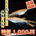 (メダカ) ヒレ長スワローめだか 未選別 稚魚(SS〜Sサイズ) 5匹セット / ひれ長 スワロー メダカ 淡水魚