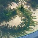 (水草) アナカリス 10本セット / 金魚藻 水草 水槽 鉢 メダカ