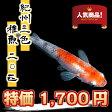 (メダカ) 紀州三色めだか 稚魚(SS〜Sサイズ) 20匹セット / 三色 錦 メダカ 淡水魚 T05P20May16