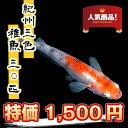 (メダカ) 紀州三色めだか 稚魚(SS〜Sサイズ) 30匹セット / 三色 錦 メダカ 淡水魚