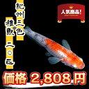 (メダカ) 紀州三色めだか 稚魚(SS〜Sサイズ) 20匹セット / 三色 錦 メダカ 淡水魚