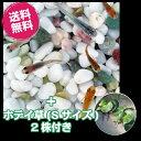 (メダカ) 紀州色彩セット 20匹セット + ホテイ草(Sサイズ) 2株付き / ミックス ホテ