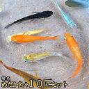 めだか色々お楽しみ 稚魚 SS〜Sサイズ 10匹セット / メダカ