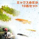 【送料無料】ミックスメダカ10匹セット めだか 水草 餌 付...