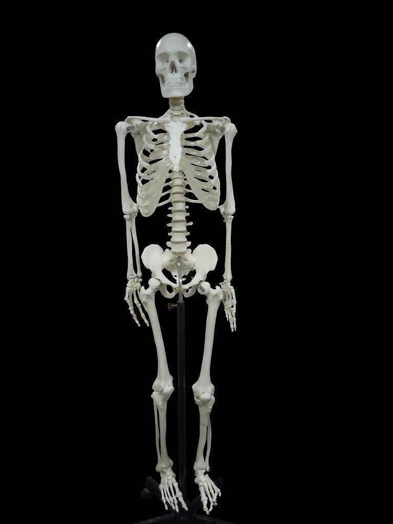 【送料無料】人体模型 全身骨格 精密等身大モデル 170cm