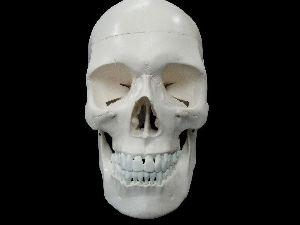 【送料無料】人体模型 頭蓋骨 実物大 精密模型の紹介画像3
