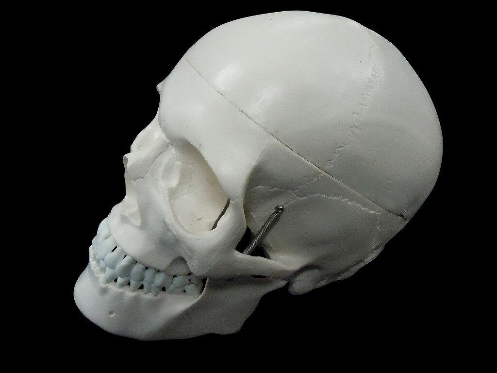 【送料無料】人体模型 頭蓋骨 実物大 精密模型の商品画像