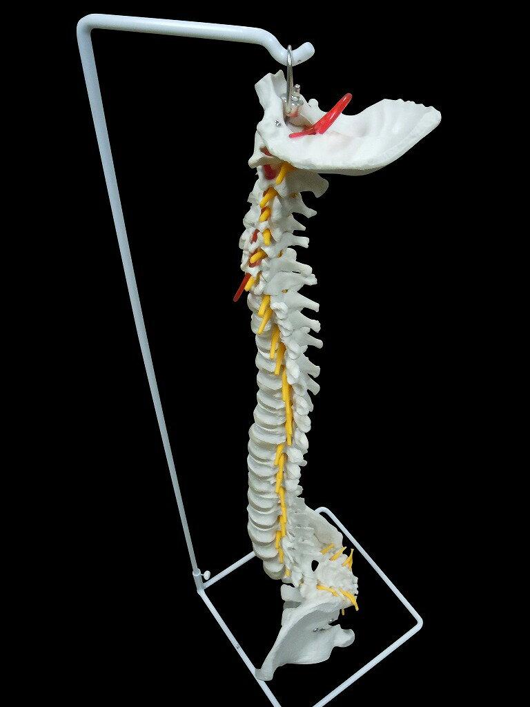 【送料無料】 人体模型 脊椎・背骨 等身大精密模型